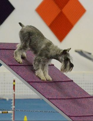 Picture dog on an a frame for agility